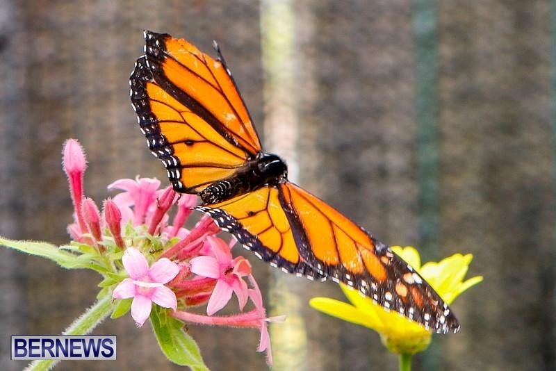 Butterfly-House-Brighton-Hill-Nursery-Bermuda-April-5-2014-2