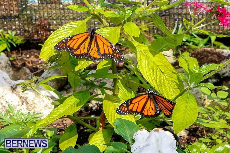 Butterfly-House-Brighton-Hill-Nursery-Bermuda-April-5-2014-23