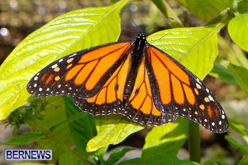 Butterfly-House-Brighton-Hill-Nursery-Bermuda-April-5-2014-24