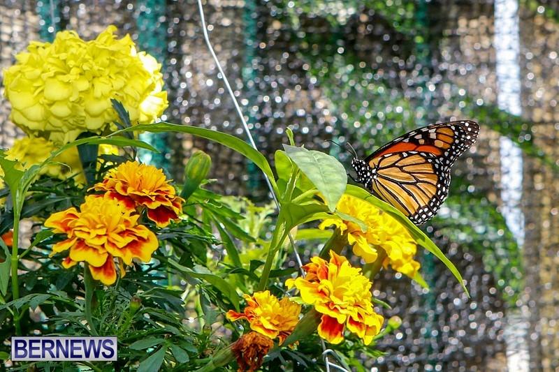Butterfly-House-Brighton-Hill-Nursery-Bermuda-April-5-2014-26