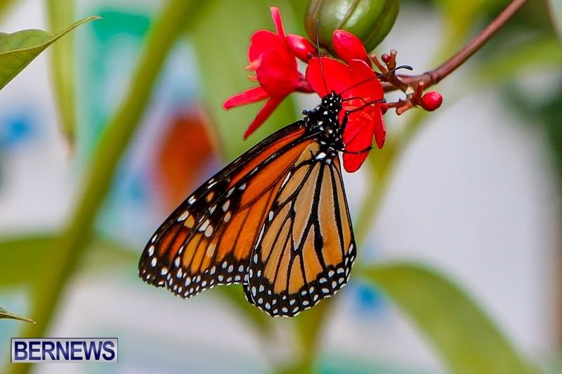 Butterfly-House-Brighton-Hill-Nursery-Bermuda-April-5-2014-28