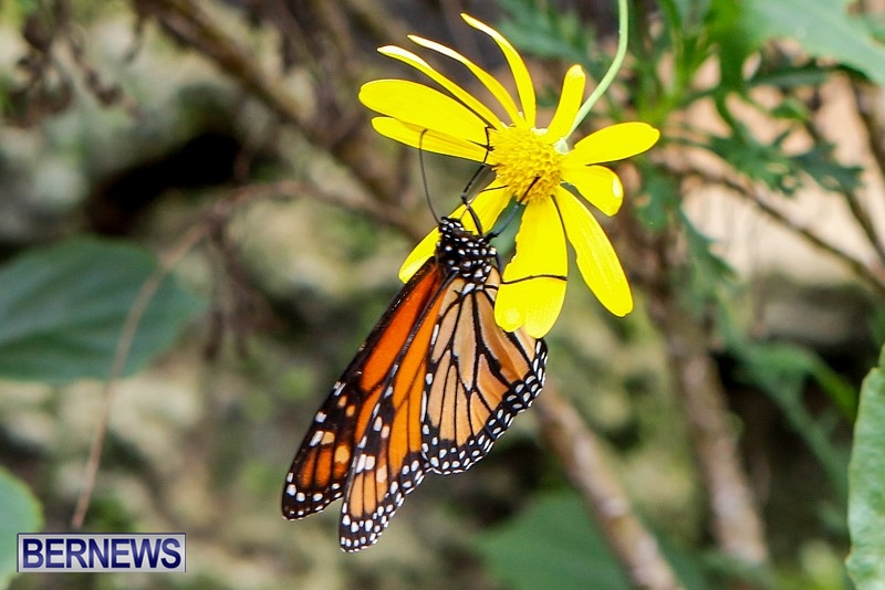 Butterfly-House-Brighton-Hill-Nursery-Bermuda-April-5-2014-3