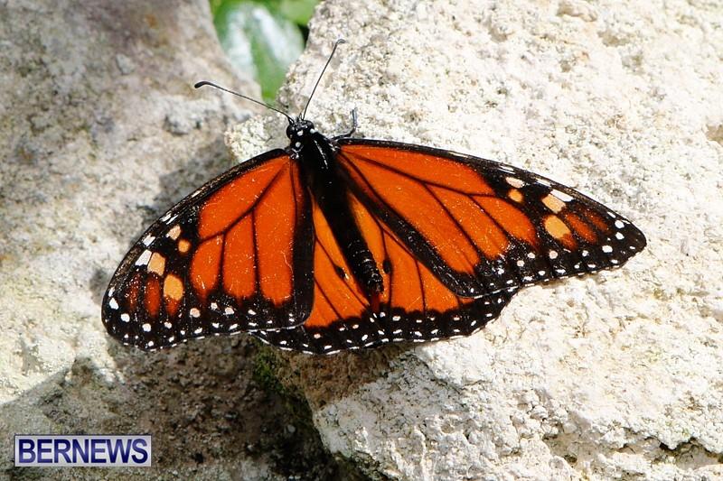 Butterfly-House-Brighton-Hill-Nursery-Bermuda-April-5-2014-30