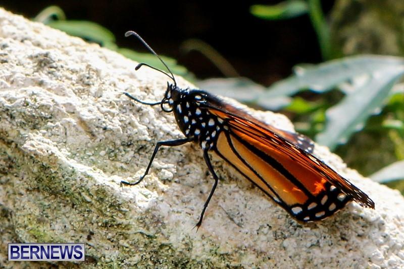 Butterfly-House-Brighton-Hill-Nursery-Bermuda-April-5-2014-31