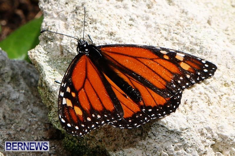 Butterfly-House-Brighton-Hill-Nursery-Bermuda-April-5-2014-32