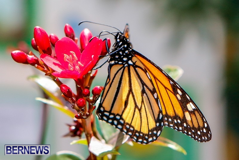 Butterfly-House-Brighton-Hill-Nursery-Bermuda-April-5-2014-34