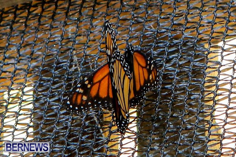 Butterfly-House-Brighton-Hill-Nursery-Bermuda-April-5-2014-35