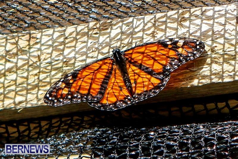 Butterfly-House-Brighton-Hill-Nursery-Bermuda-April-5-2014-36