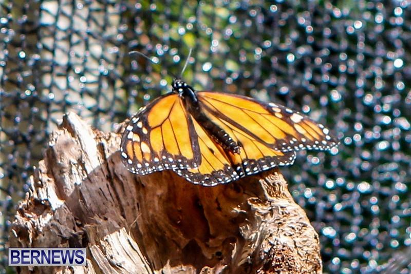Butterfly-House-Brighton-Hill-Nursery-Bermuda-April-5-2014-37