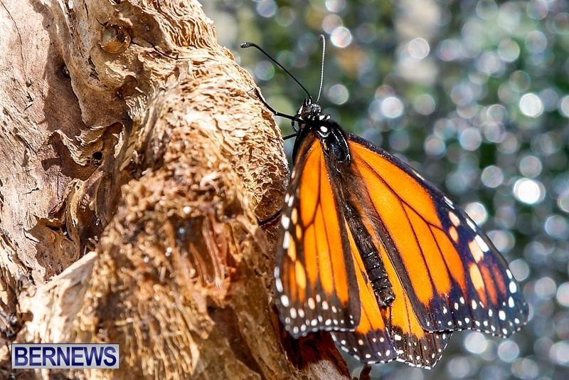Butterfly-House-Brighton-Hill-Nursery-Bermuda-April-5-2014-39