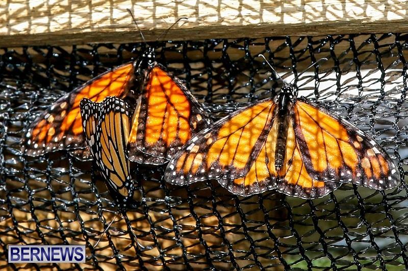 Butterfly-House-Brighton-Hill-Nursery-Bermuda-April-5-2014-40