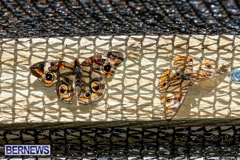 Butterfly-House-Brighton-Hill-Nursery-Bermuda-April-5-2014-41