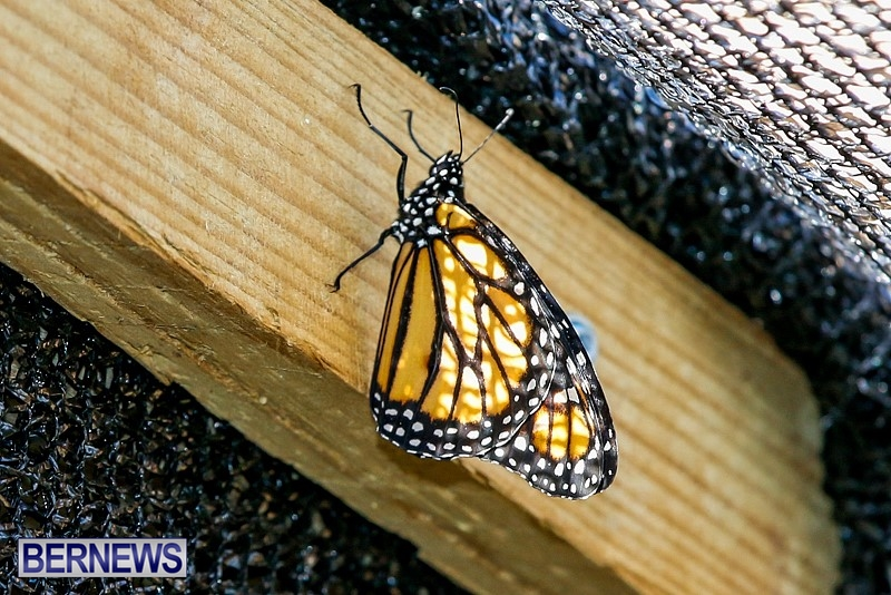 Butterfly-House-Brighton-Hill-Nursery-Bermuda-April-5-2014-42