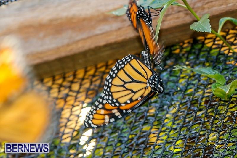 Butterfly-House-Brighton-Hill-Nursery-Bermuda-April-5-2014-43
