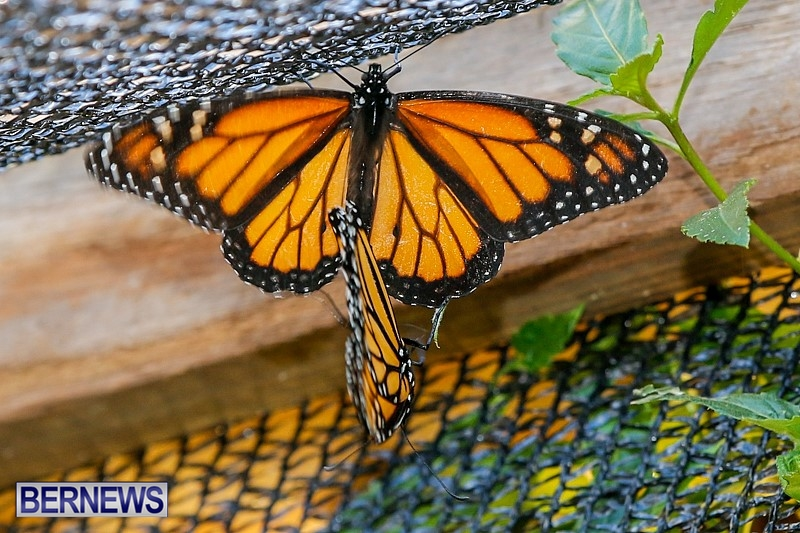 Butterfly-House-Brighton-Hill-Nursery-Bermuda-April-5-2014-45