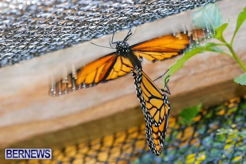 Butterfly-House-Brighton-Hill-Nursery-Bermuda-April-5-2014-46