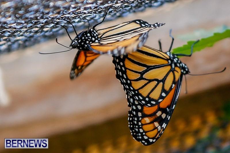 Butterfly-House-Brighton-Hill-Nursery-Bermuda-April-5-2014-47