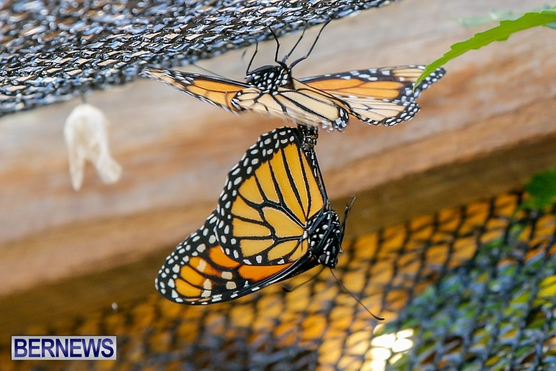 Butterfly-House-Brighton-Hill-Nursery-Bermuda-April-5-2014-48