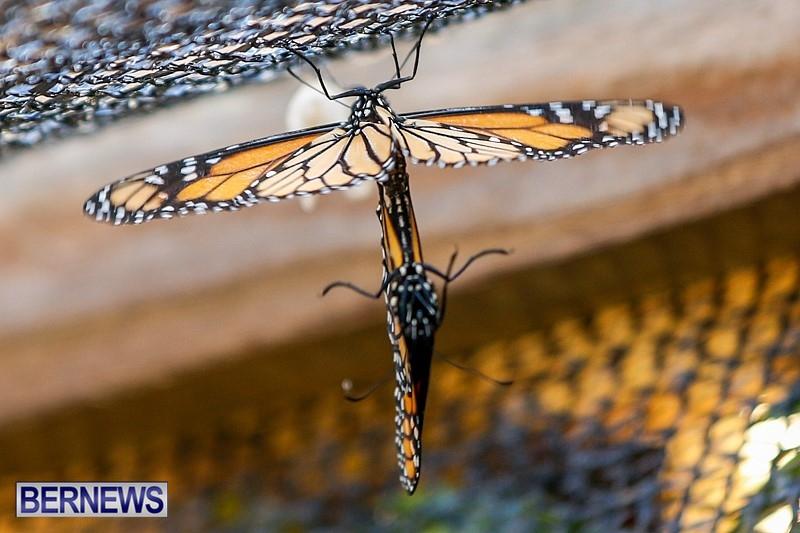 Butterfly-House-Brighton-Hill-Nursery-Bermuda-April-5-2014-49