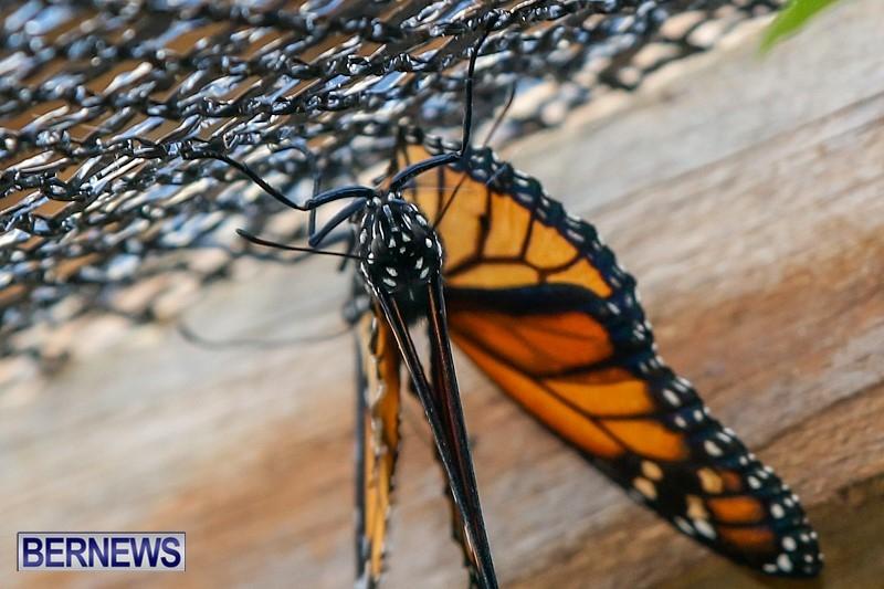 Butterfly-House-Brighton-Hill-Nursery-Bermuda-April-5-2014-50