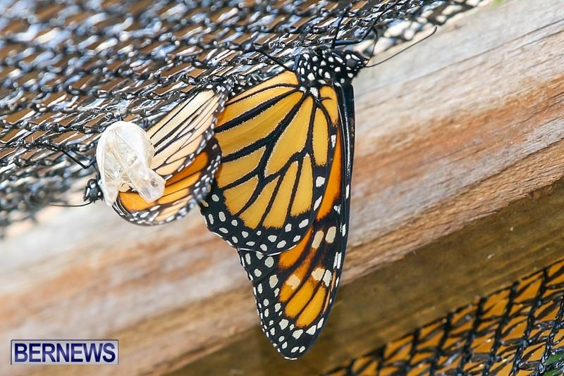 Butterfly-House-Brighton-Hill-Nursery-Bermuda-April-5-2014-51