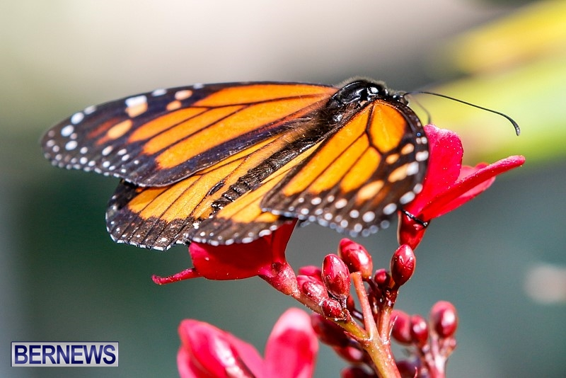 Butterfly-House-Brighton-Hill-Nursery-Bermuda-April-5-2014-53