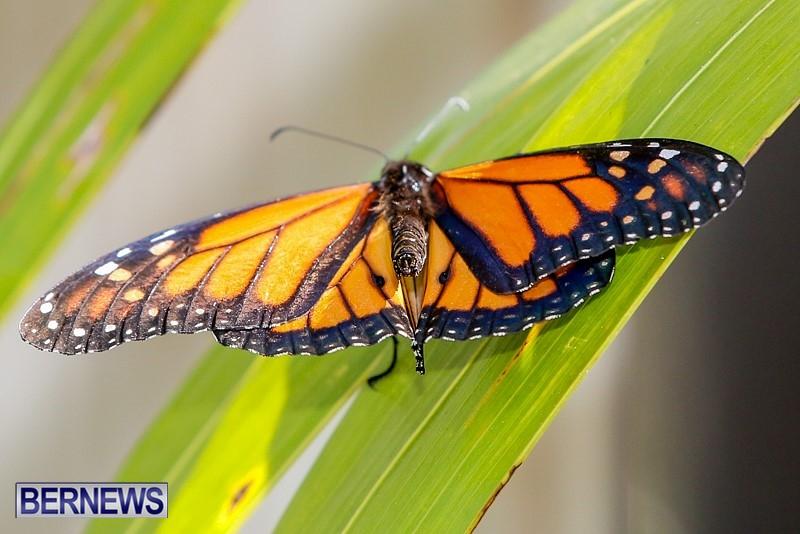 Butterfly-House-Brighton-Hill-Nursery-Bermuda-April-5-2014-54
