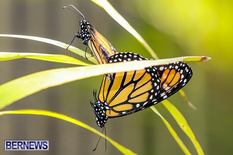 Butterfly-House-Brighton-Hill-Nursery-Bermuda-April-5-2014-55