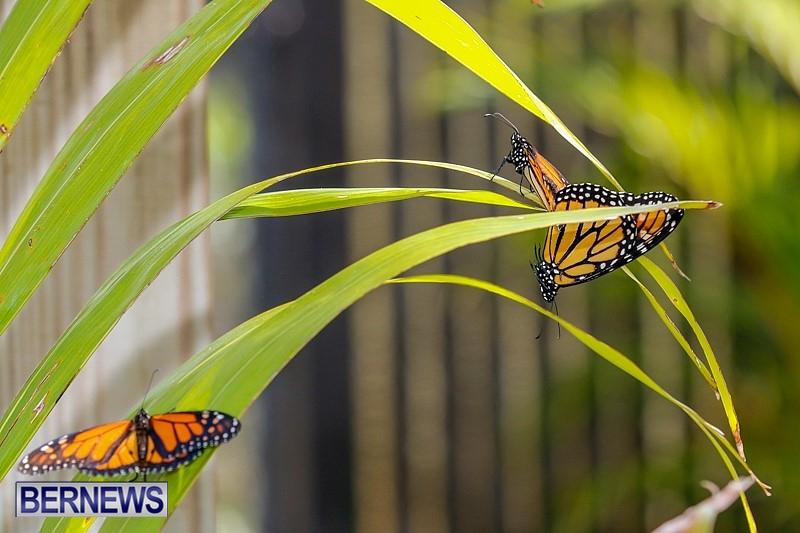 Butterfly-House-Brighton-Hill-Nursery-Bermuda-April-5-2014-56