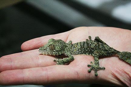 Malagasy Leaf-tailed Gecko.