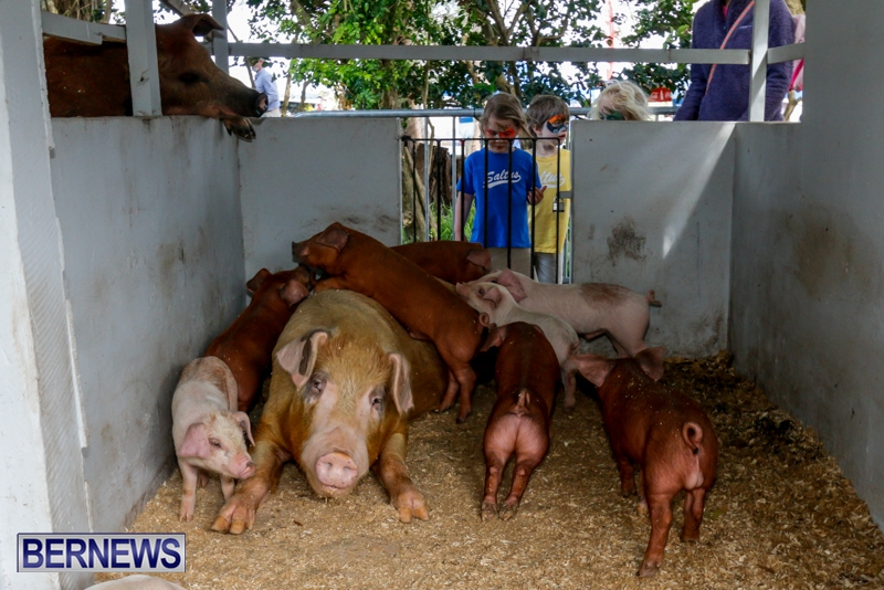 Pigs at the Agricultural Exhibition Bermuda, April 24 2014-16