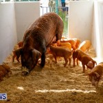 Pigs at the Agricultural Exhibition Bermuda, April 24 2014-9