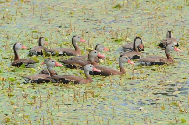black-bellied-whistling-ducks