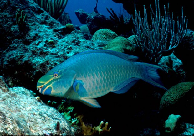 BermudaParrotFish