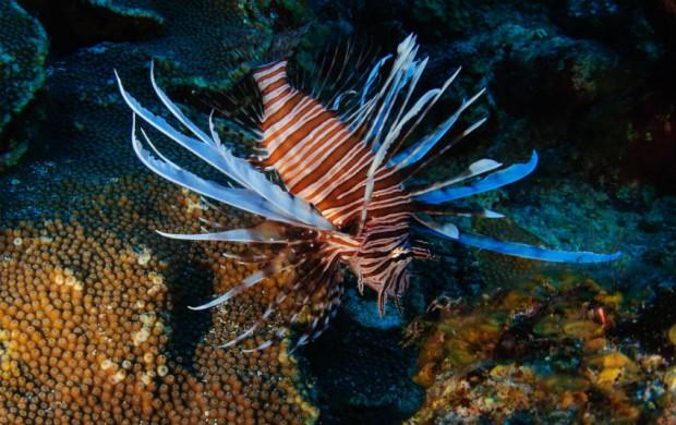 lionfish-photograph-award