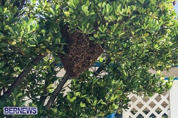 Bees Bermuda, September 4 2014-1