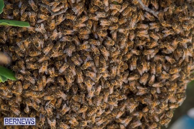 bees-in-bermuda-sept-4-2014-03