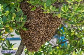 bees-in-bermuda-sept-4-2014-04