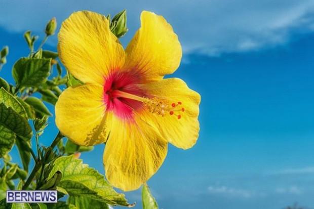 yellow hibiscus flower generic bermuda