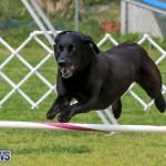 Dog Agility Trials Bermuda, March 28 2015-104