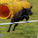 Dog Agility Trials Bermuda, March 28 2015-106