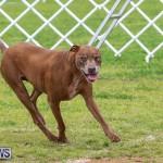 Dog Agility Trials Bermuda, March 28 2015-111