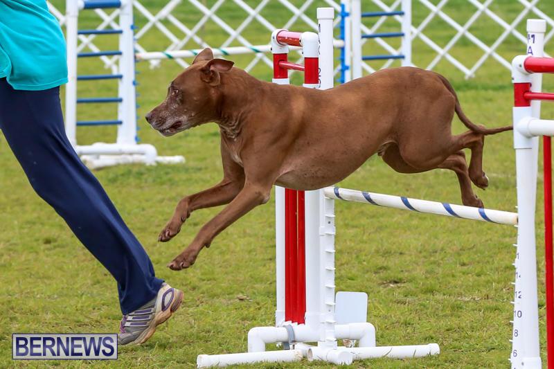 Dog-Agility-Trials-Bermuda-March-28-2015-113