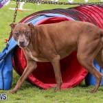 Dog Agility Trials Bermuda, March 28 2015-114