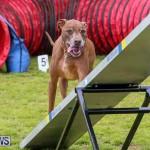 Dog Agility Trials Bermuda, March 28 2015-115
