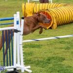 Dog Agility Trials Bermuda, March 28 2015-117