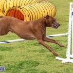 Dog Agility Trials Bermuda, March 28 2015-118