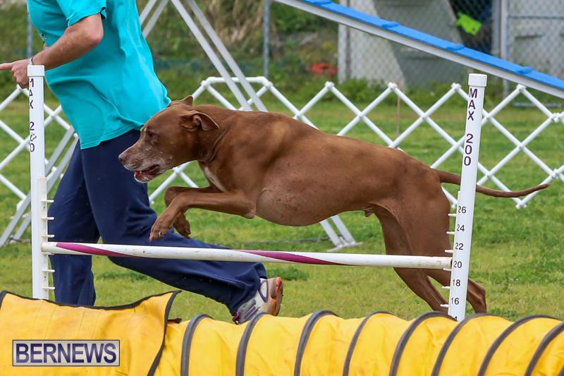 Dog-Agility-Trials-Bermuda-March-28-2015-123