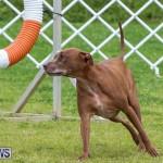Dog Agility Trials Bermuda, March 28 2015-127