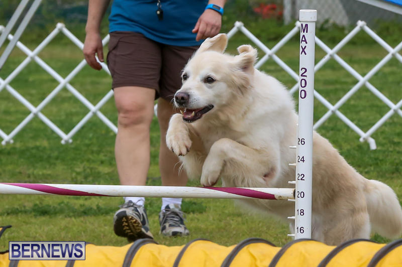 Dog-Agility-Trials-Bermuda-March-28-2015-19